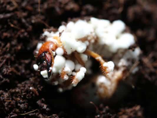 Grub infected with Beauveria brognartii